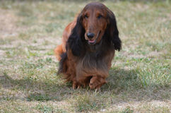 длиннее собаки dachshund с волосами Стоковые Изображения