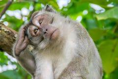 длинний замкнутый macaque Стоковые Изображения