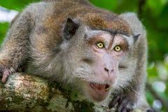 длинний замкнутый macaque Стоковая Фотография