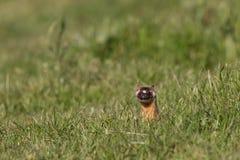длинний замкнутый weasel Стоковое фото RF