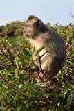 длинний macaque замкнул Стоковая Фотография RF
