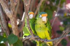 2 длиннохвостого попугая в дереве Стоковые Изображения RF