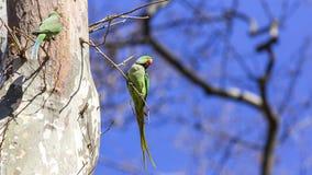 2 длиннохвостого попугая Alexandrine на дереве Стоковые Фото