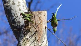 2 длиннохвостого попугая Alexandrine на дереве Стоковое Фото
