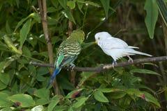 2 длиннохвостого попугая budgie Стоковое Изображение
