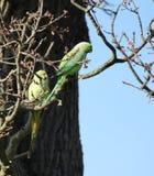 длиннохвостый попугай  Роза-окружённый (krameri ожерелового попугая), известный как кольц-necked длиннохвостый попугай, стадный  Стоковое фото RF