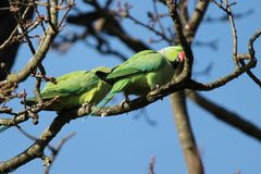 длиннохвостый попугай  Роза-окружённый (krameri ожерелового попугая), известный как кольц-necked длиннохвостый попугай, стадный  Стоковая Фотография RF