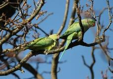 длиннохвостый попугай  Роза-окружённый (krameri ожерелового попугая), известный как кольц-necked длиннохвостый попугай, стадный  Стоковые Изображения RF