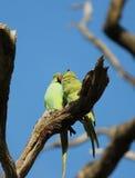 длиннохвостый попугай  Роза-окружённый (krameri ожерелового попугая), известный как кольц-necked длиннохвостый попугай, стадный  Стоковые Фото