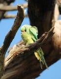 длиннохвостый попугай  Роза-окружённый (krameri ожерелового попугая), известный как кольц-necked длиннохвостый попугай, стадный  Стоковые Фотографии RF