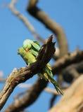 длиннохвостый попугай  Роза-окружённый (krameri ожерелового попугая), известный как кольц-necked длиннохвостый попугай, стадный  Стоковая Фотография