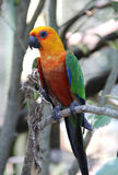 длиннохвостый попугай Jandaya семьи попугая Стоковое фото RF