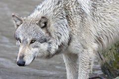 Интенсивность волка Стоковое Изображение RF