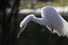 Интенсивный взгляд белого Egret пока охотящся стоковые фото