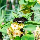 Интересная бабочка садилась на насест на заводе с желтыми цветенями стоковые фотографии rf