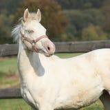 Интересная лошадь альбиноса с розовым halter Стоковые Изображения