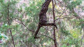Интересная смотря ветвь дерева с разделенным концом который выглядит как коготь стоковые изображения