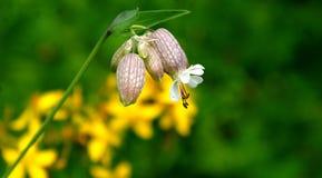 Интересно цветения Silene vulgaris Стоковая Фотография RF