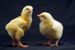 интересовать цыпленоков стоковое изображение