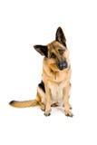 интересуемая собака стоковое изображение rf