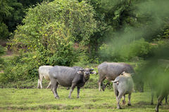Интересуя буйвол стоковые фотографии rf