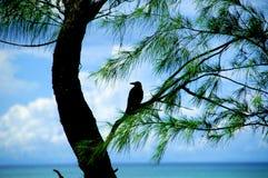 Интересуя ворона Стоковая Фотография RF