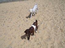 Интерес коз брата и сестры в пустыне стоковая фотография rf