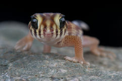 интерес gecko Стоковое фото RF