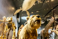 Интерьер 7 музея естественной истории Шанхая стоковые фотографии rf