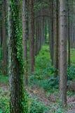 Интерьер плантации сосны Стоковые Фото