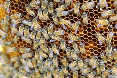 Интерьер улья - пчелы меда работая на соте Стоковое Фото