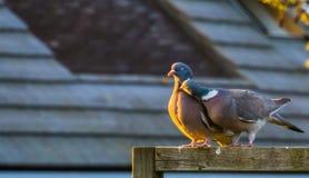 Интимные пары общих голубей совместно, сезон размножения птицы весной стоковое изображение