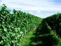 инфинитный виноградник Стоковые Фото