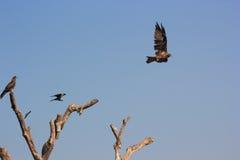 Индеец запятнал орла и вороны на одной ветви Стоковое Изображение RF