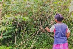 Индигенное yuca рудоразборки женщины от сада к prepar хлебу юкки (кассаве) в традиционном пути стоковые изображения rf