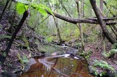 Индигенный лес в Южной Африке Стоковая Фотография RF