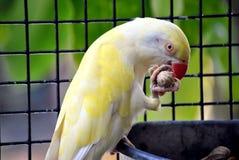 Индийская еда длиннохвостого попугая ringneck Стоковое Фото