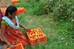 Индийская женщина с ее сбором - сбор томата Стоковые Фотографии RF
