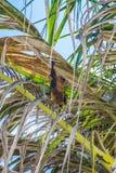Индийская лиса летания на пальме Стоковые Изображения RF