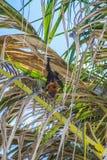 Индийская лиса летания на пальме Стоковое Изображение RF