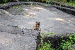 индийская обезьяна стоковая фотография rf