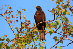 Индийская птица: Змей Brahminy Стоковая Фотография