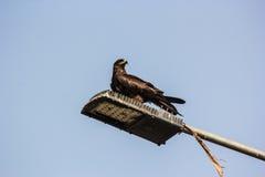 Индийская птица: Змей Brahminy Стоковое Изображение