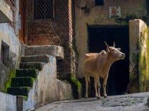 Индийская святая корова на улице в Rishikesh Стоковое Изображение