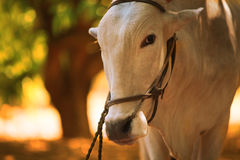 Индийская ферма Bull Стоковое Изображение