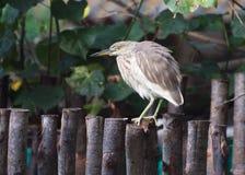 Индийская цапля или Paddybird пруда Стоковое фото RF