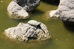 Индийская черепаха softshell стоковые фотографии rf