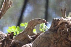Индийская ящерица монитора Стоковое Фото