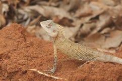 Индийская ящерица 3 стоковое фото