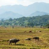 Индийские буйволы в поле Стоковая Фотография RF